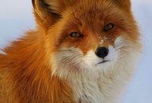 raposas, crocodilos e outros / fox