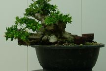 Shohin and mame bonsai