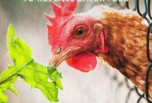høns og andre husdyr