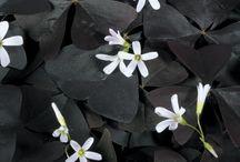 Black Plants & Flowers To Buy