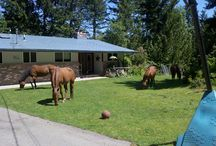 Heart of the Herd Ranch and Retreat Center / Sharing my property with my horses includes the paddocks, pastures, front yard, back yard, the neighbors yard (not on purpose), the garage (there are treats in the frig), the UPS truck (there are treats in his truck), and for this Montana girl - the horse wallow in my front yard is nearly as cool as the buffalo wallow in my dad's : )