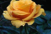 Flores / São fotos das flores e  plantas do meu jardim