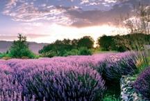 Lavender Places