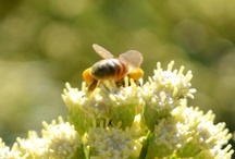 My Little Pollinators! / I became a Beekeeper on April 9, 2012.  This is my pictorial journey.