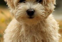 I want a Havanese / by maegan hunter