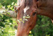 Koń / Konik polski – polska rasa konia późno dojrzewającego (3–5 lat) w typie kuca, długowiecznego, odpornego na choroby i trudne warunki utrzymania. Koniki polskie mają twardy róg kopytowy, pozwalający pracować niepodkutym na twardym podłożu.