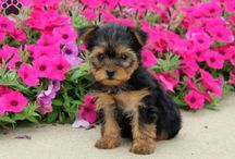 Yorkshire Terrier / Yorkie