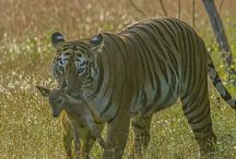 Animals ~ Wildlife / Animals of all descriptions that live in the wild...  Foxes, Deer, Koala's, Elephants, etc...