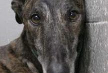 No country for old galgos