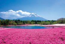 """เทศกาลดอก """"ซากุระชิบะ"""" (Shibazakura), Japan"""