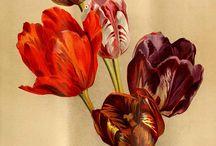Тюльпаны) / Любимые цветы)