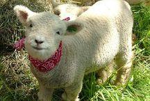 Baaaa! Lambs.  Sheep.  I just love them. / by Valerie GSG