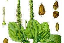 Медицинские  растения