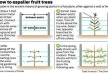 выращивание шпалер