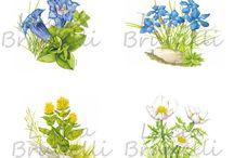 Illustrazioni di piante / Tratta di illustrazioni botaniche a colori e in bianco e nero. la tecnica utilizzata è principalmente  l'acquarello e il tratto in bianco e nero. Sono state utilizzate in molti settori: pubblicazioni, packaging, posters, depliants, gadjets e omaggistica, interior design.