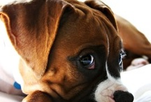 BOXERS!!! / by Robyn Bedsaul