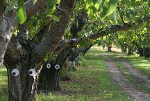 Okanagan fruit ripening schedule
