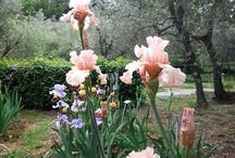 Iris and Rose garden, Florence / An exclusive tour only from april 20 to may 25. I'll lead you in the gardenof the roman goddess Venus, the garden of the nymphs called Hesperides. Even the great Renaissance painter Botticelli was inspired by this garden! In the Iris Garden w'll admire more than one thousand different irises and you'll feel the perfume in the Rose Garden. I will tell you about symbols and legends, mythology and philosophy in Renaissance Florence, when every flower was to mean poetry, mythology, or Faith.