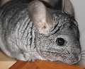 Chinchilla / thees photos have i taken when i had chinchillas, i reasently gave away my last chinchilla <'3  really miss him ): but i couldnt have him