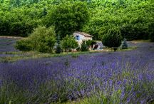 Lavender / by Monica Andreese