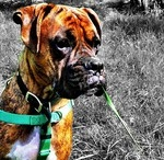 Boxer Dogs / The most loveable of all breeds, in my unbiased opinion