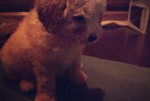 My puppy / My adorable Golden Doodle