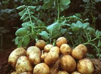 << Root Veggies * Tubers >> / All tuber or root vegetables including: Beets, Carrots, Cassava, Horseradish, Potatoes, Radishes, Sweet Potatoes, Turnips, Yams etc.