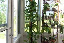 growing venila in indoor