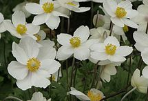 Staudebed/blomster