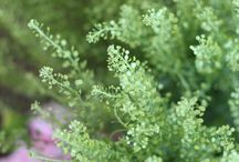 Thlaspi Green