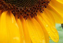 Sunflowers / I love sunflowers!!!