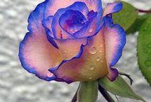 Roser