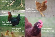 Backyard Chickens / by Melissa Brubaker