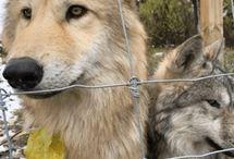 Farkasok és rókák