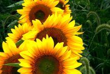 Sunflowers girasoli