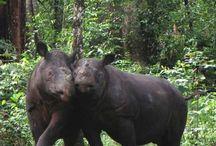 Rhinos / by Bruce Smith Sr.