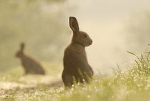 Hare's
