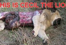 Africa's largest Lion Cecil, hunted and butchered by a US dentist
