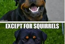 ❤Rottweilers❤