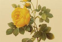 Botanical art / botanical drawing, illustrations