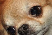 Chihuahuas / Puppies