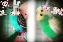 Παπαγάλοι Boutgie