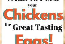 Εκτροφή κοτόπουλων