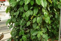 Things Vitaceae, the Grape family