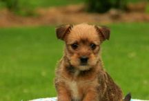Yorkie-Russell