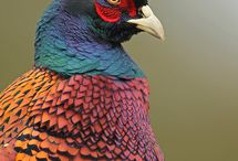 cock pheasant / by Fi Dean
