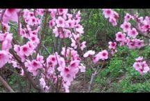 Сад Персики Абрикосы