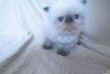 Himalája perzsa cica