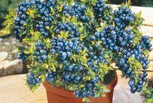 Fruit plants for the garden / Favourite fruit, seasonal kid's love