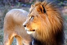 African Lions / Venture in to the territory of the lion! No visit to the Africa region of the NC Zoo is complete without seeing these majestic cats.